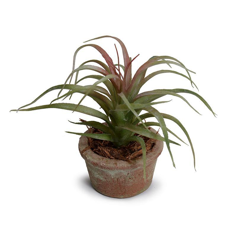 Succulent - Spider Potted - New Growth Designs