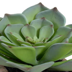 Succulent-Echeveria Potted
