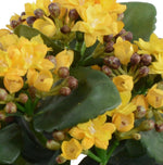 Kalanchoe (Small) - Yellow - New Growth Designs