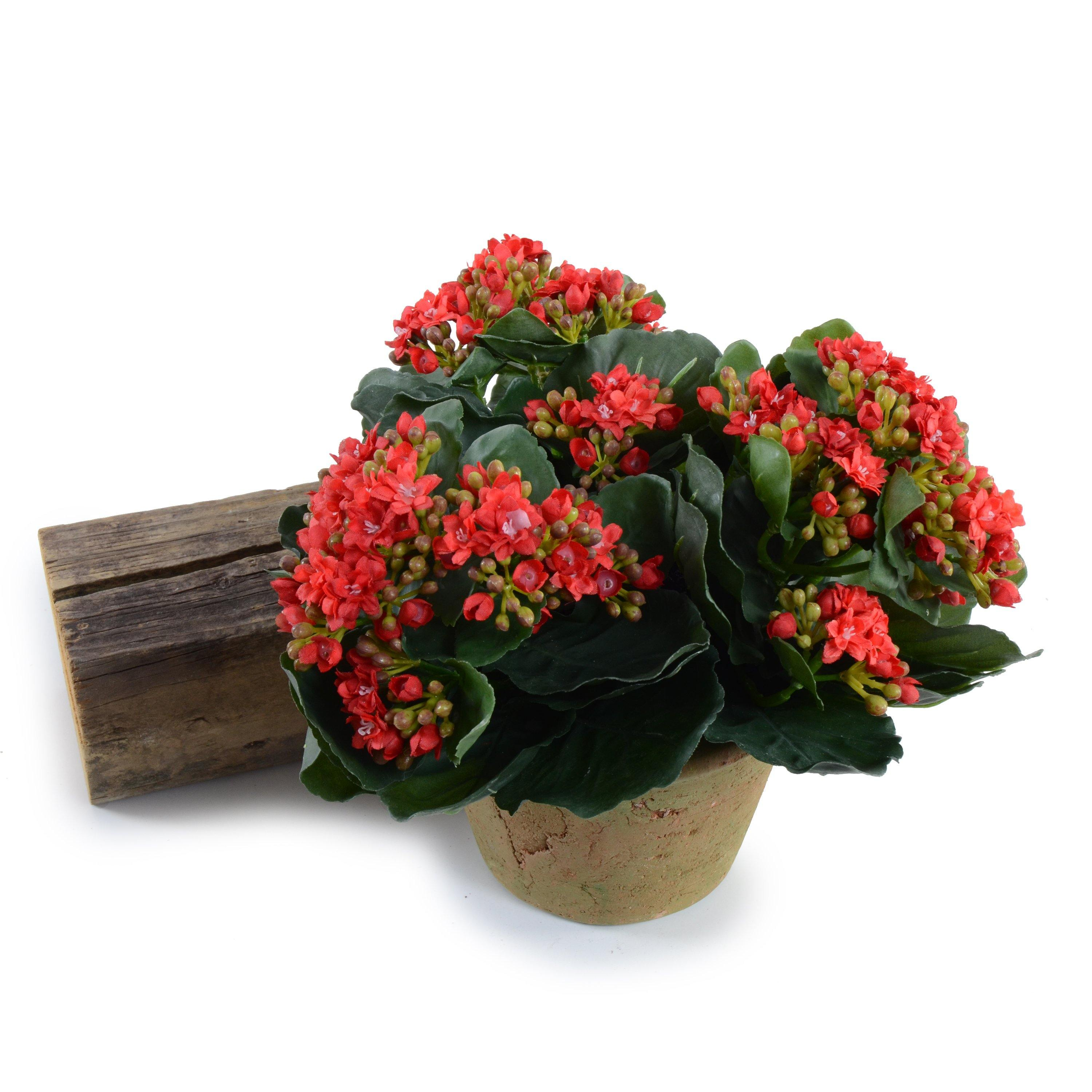 Kalanchoe Plant - Red
