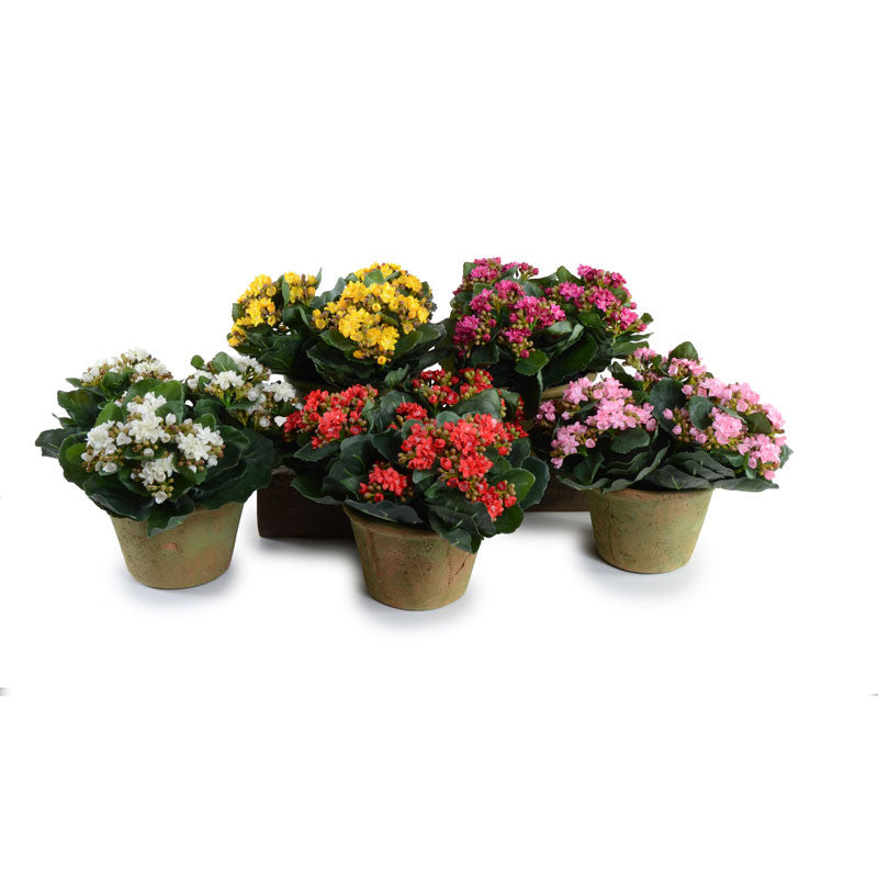 Kalanchoe Plant White New Growth Designs