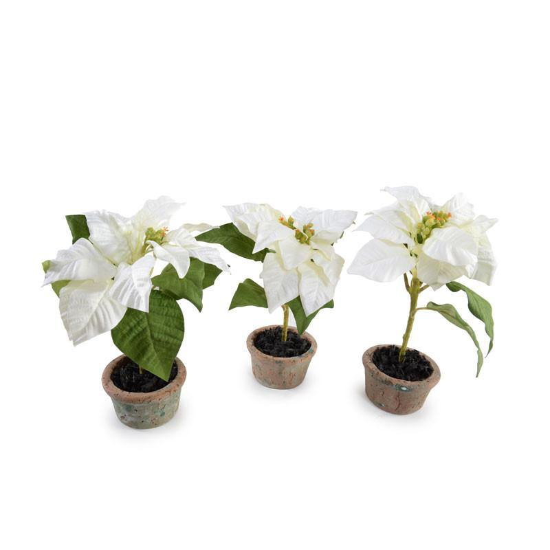 Poinsettia Plant, White