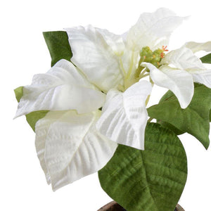 Poinsettia in Terracotta - White