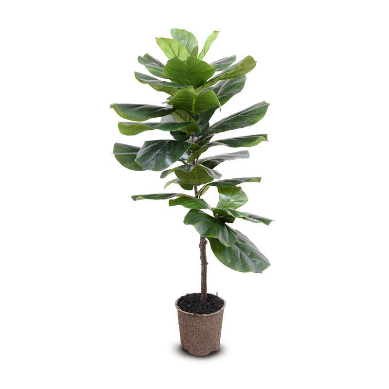 "Fiddle-leaf Fig Tree, 50""H - New Growth Designs"