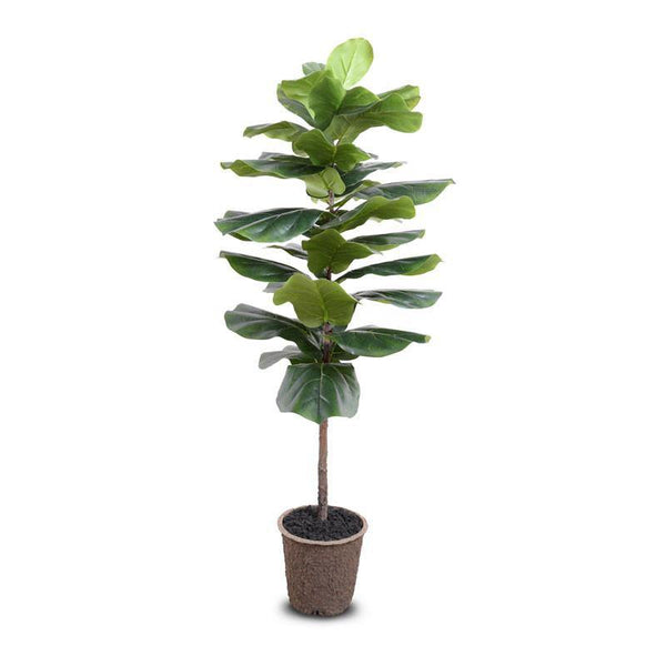"Fiddle-leaf Fig Tree, 58""H"