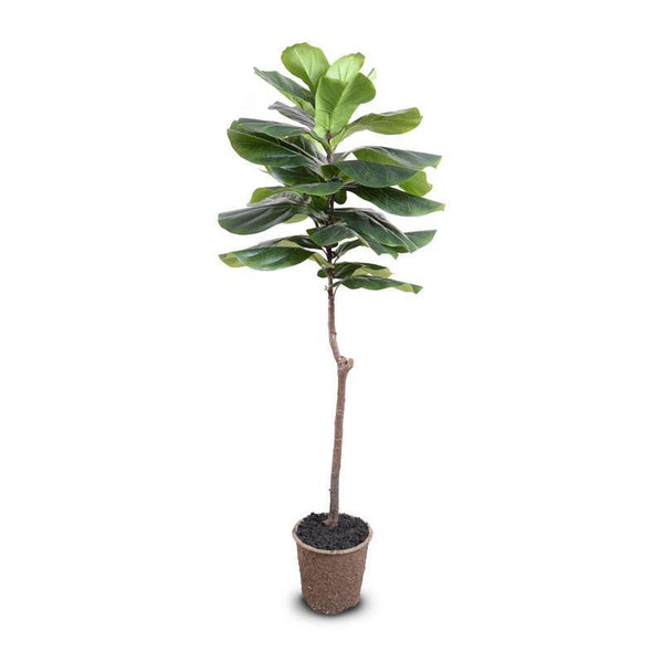 "Fiddle-leaf Fig Tree, 62""H"