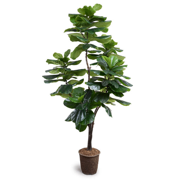 Fiddle-leaf Fig Tree, 7.5' Standard