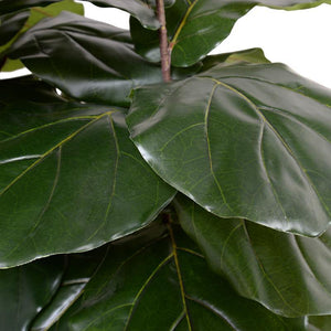 Fiddle Leaf Fig Large-leaf Tree, 64""