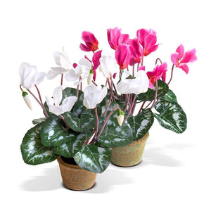 Cyclamen plant - New Growth Designs