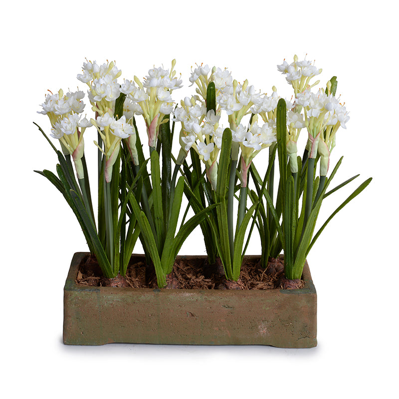 Paperwhite Narcissus