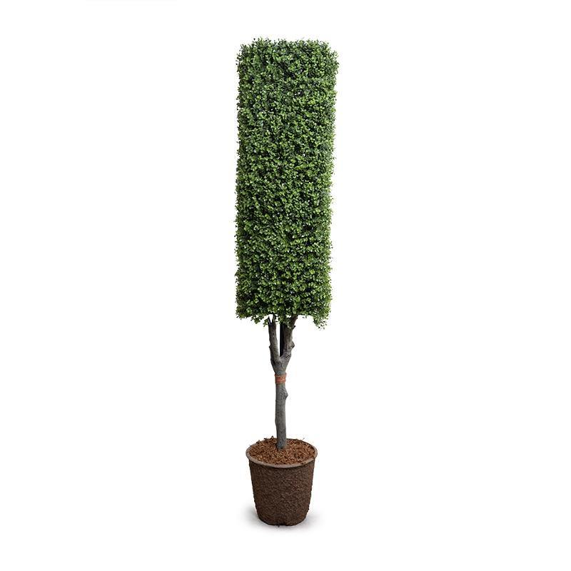 Boxwood Column Topiary