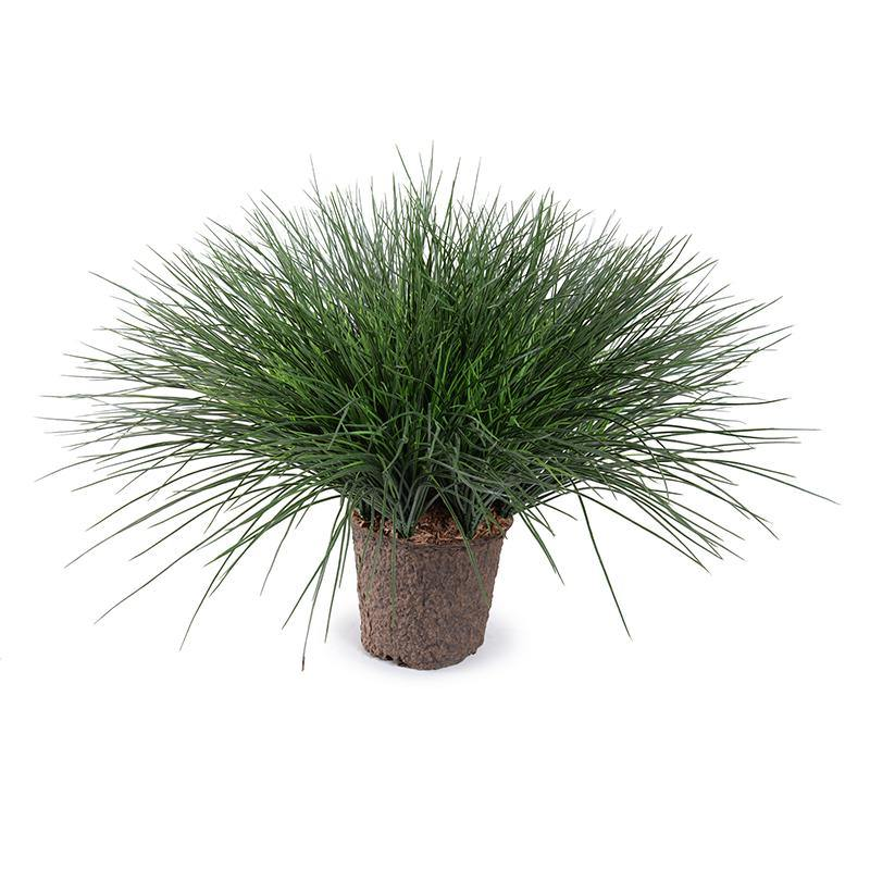"Onion Grass in 7"" Pot"