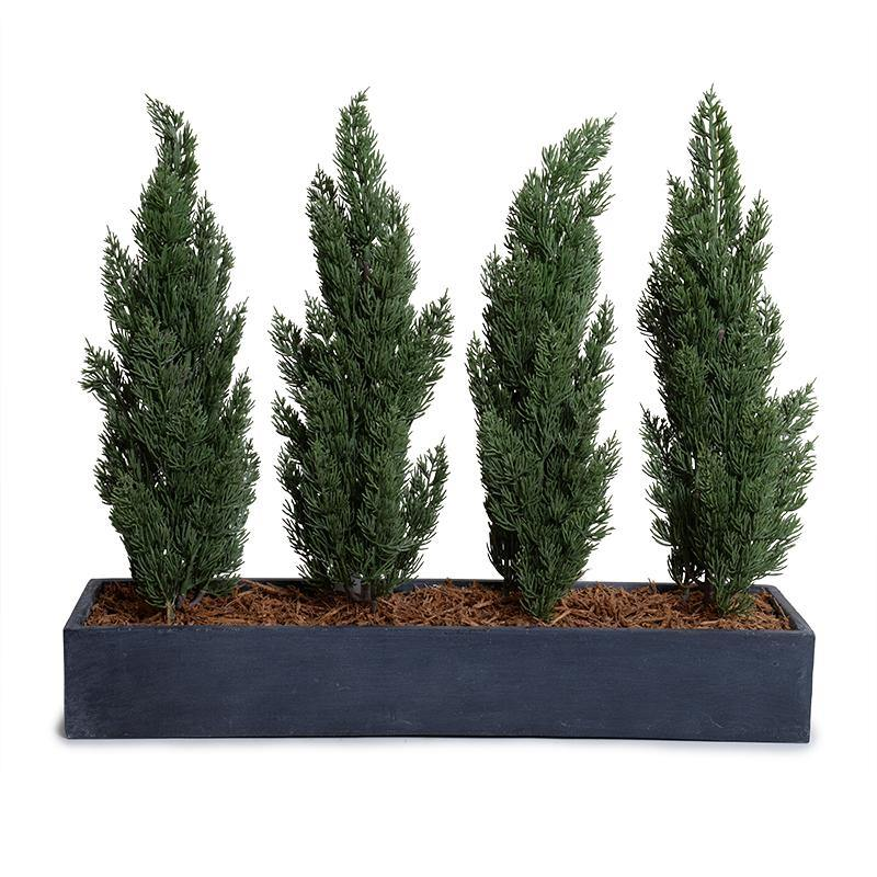 "Italian Cypress in Fiberglass Trough - 30""L"
