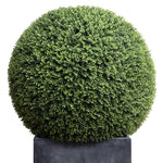 "39"" Boxwood Ball in Fiberglass Cube Pot"