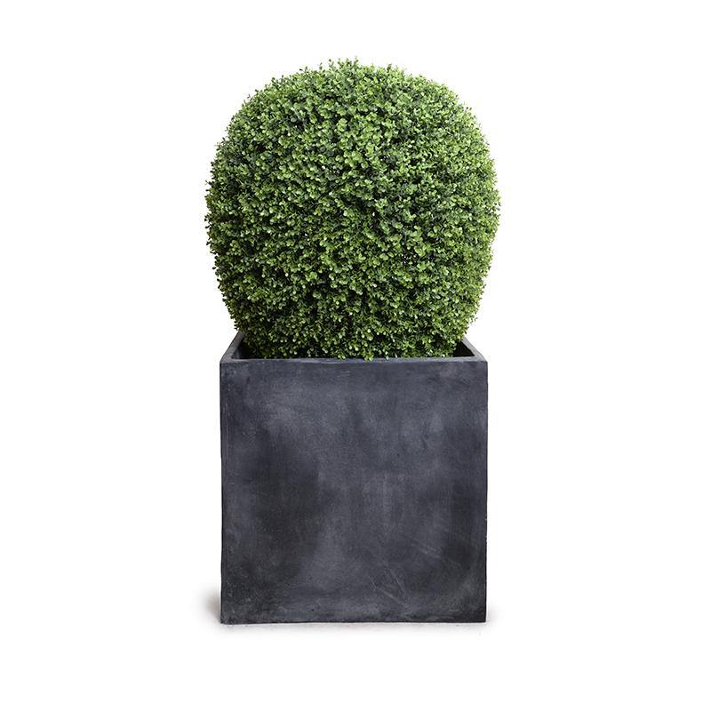"""Lantern"" Boxwood Shrub in Fiberglass Cube Pot, 48""H"