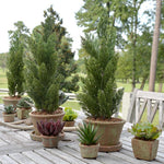 "Italian Cypress 20"" Cone-shaped Planting in Rustic Terracotta"