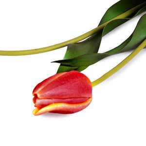 Tulip Stem, French - Orange Red