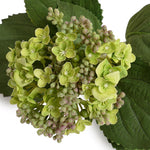 Hydrangea Flowering Bud Stem - Spring Green