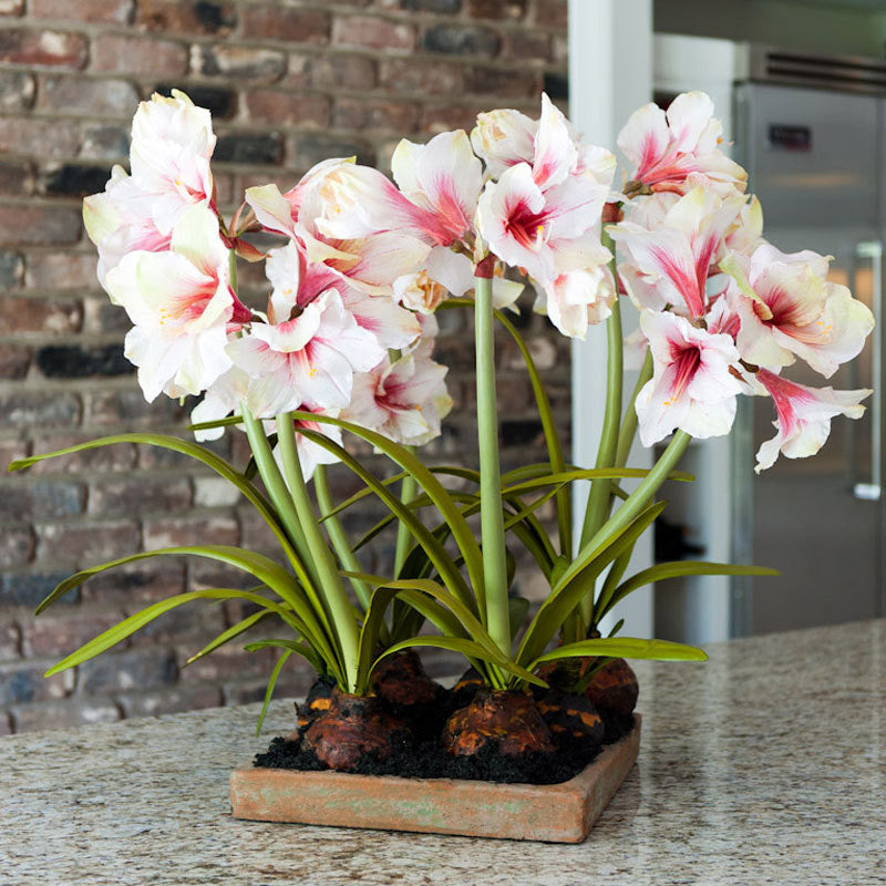 Amaryllis Arrangement - New Growth Designs
