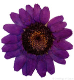 Chrysanthemum (Purple, dyed)