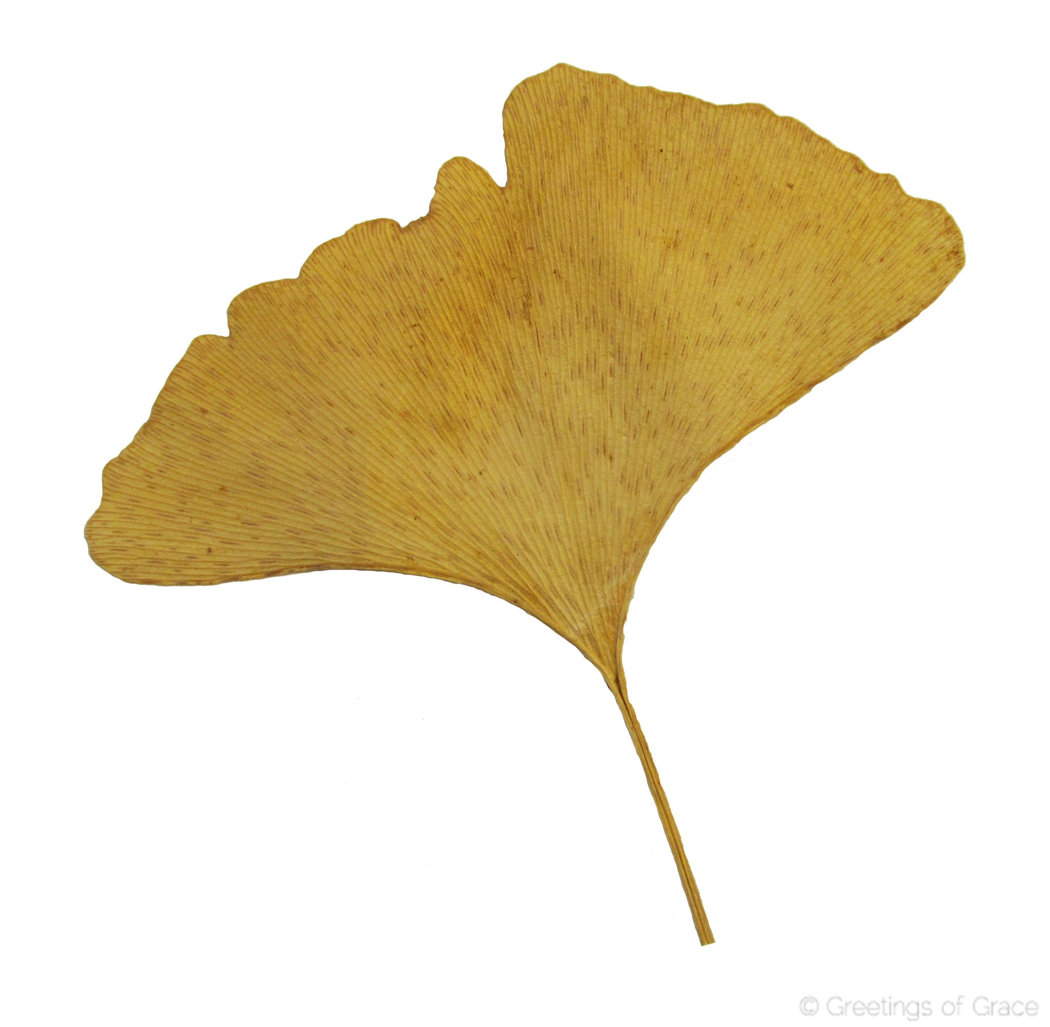 ginkgo leaf yellow dyed greetings of grace