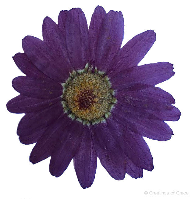 Marguerite (Purple)