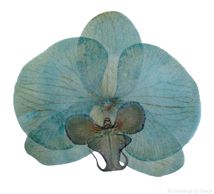 Orchid (blue dyed)