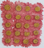 Chrysanthemum Pink Dyed