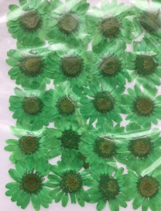 Chrysanthemum (green)