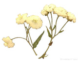 Achillea with stem (natural)