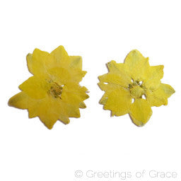Larkspur Yellow