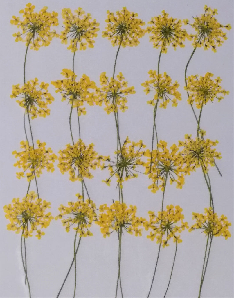 Queen Anne's Lace with stems (Yellow, dyed)