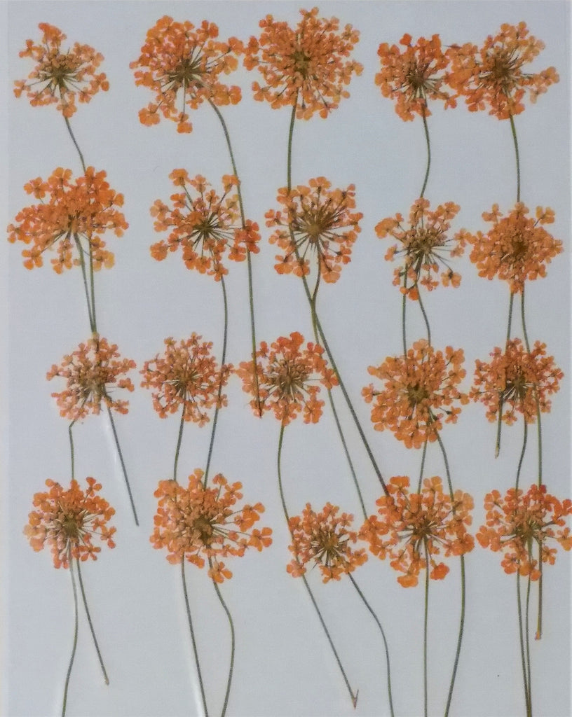 Queen Anne's Lace with stems (Orange, dyed)
