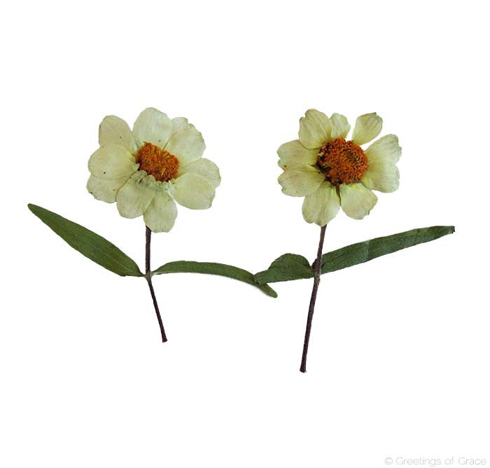 Zinnia With Stem (natural)