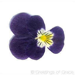 Viola (Yellow & Blue)