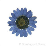 Chrysanthemum (Blue)
