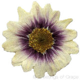 Chrysanthemum (Purple, large natural)