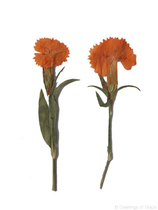 Carnation (orange dyed)