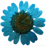Chrysanthemum  (Light Blue)