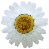 Chrysanthemum (white)