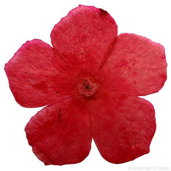 Phlox (red dyed)