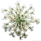 Queen Anne's Lace (natural white)
