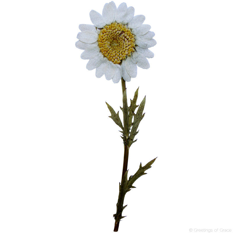 Chrysanthemum with stem (natural white)