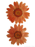 Chrysanthemum Orange Dyed