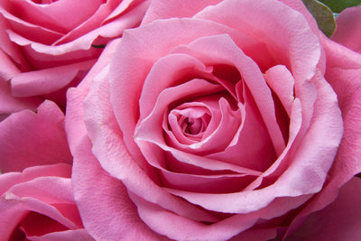 How Rose Soothes the Skin