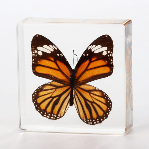 Butterfly Square Resin Decoration Real Monarch Butterfly With Gift Box