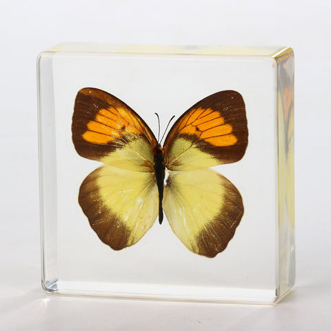 Butterfly Square Resin Decoration Real Yellow Butterfly With Gift Box