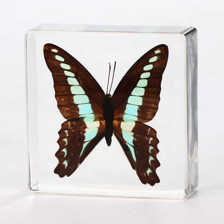Butterfly Square Resin Decoration Real Green Swallowtail Butterfly With Gift Box