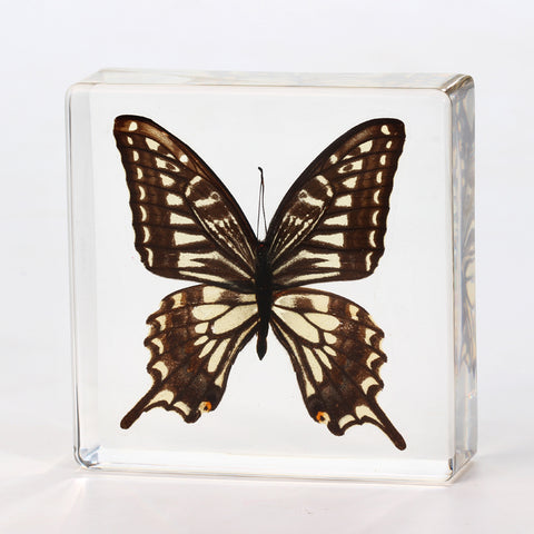 Butterfly Square Resin Decoration Real Butterfly With Gift Box