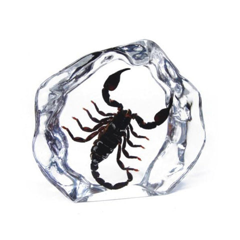 Black Scorpion Encased In Acrylic- Large
